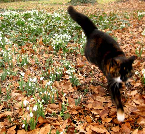 Snowdrops-and-cat